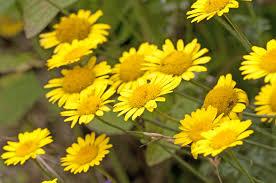 TUDTAD? Sárga festék avagy gyógynövény?